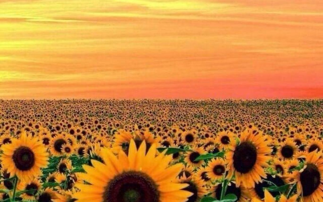 Wallpaper Sunflower Yellow Tumblr Aesthetic Pictures2