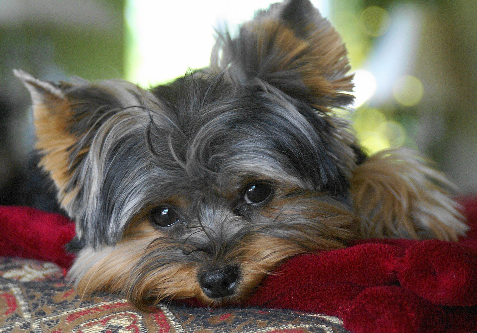 Yorkie Puppy Wallpapers Posted By Ryan Johnson